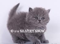 Британские длинношерстные котята в продаже от питомника